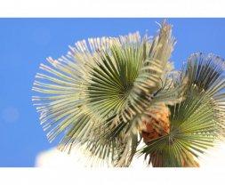 Eduard Leaves Palm Washington Filifera colour 1:35